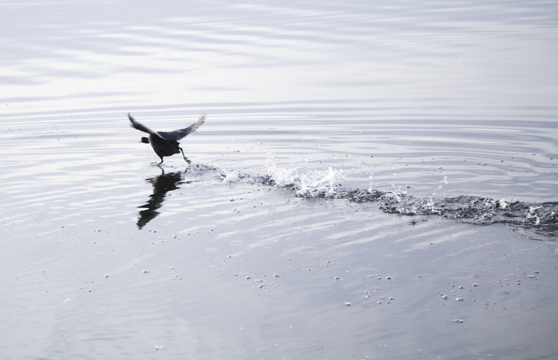 Keizer, Oregon duck flight.